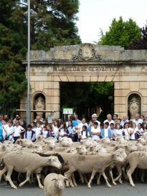 Más de mil ovejas merinas cruzan la ciudad en la II Jornada de Trashumancia Soria-Tierras Altas